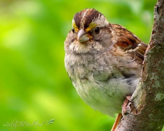069 - Nature Photograph of a White Throated Sparrow- Wall Art, Home Decor, Print