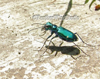 Six Spotted Tiger Beetle Iridescent Insect Photography Child Nursery Decor Boys Room Wall Art Blue Green Bug Insect Shadow Entomology Print