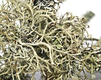 Moss and lichen sticks for decoration or terrarium 5 stk  Terrarium decor. vivarium decor, flower decor. Hoem and living,