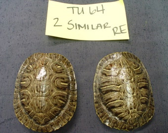 Two (2) Similar Matched Medium Red-Ear Slider Turtle Shells  Cleaned & Shined   (TU64)