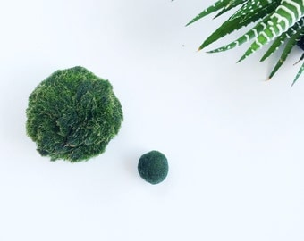 Marimo Japanese Moss Ball -Giant- for Water Terrarium