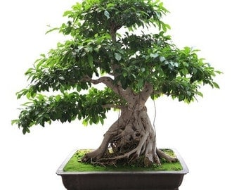 BONSAI - Chinese Banyan