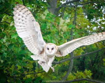 Barn Owl Flight Photo Print