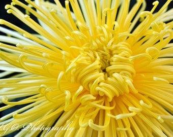 Yellow Mum - Floral Photography - Nature Photography - Wall Art - Fine Art Photography - Botanical - Flowers -