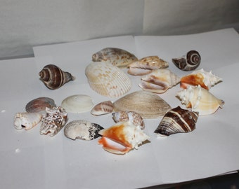 SALE: Whole Vintage Sea Shells, Look Carefully at Them,  in All, Includes  18 Almost Perfect, Nautical Decoration, Collectible, NICE