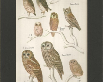 vintage colourful 1970s small bird print of the families of owls ornithology wall decor