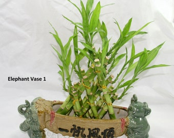3 Layer Pyramid Braided Lucky Bamboo Plant