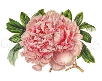 Peony Clip Art, Vintage Graphic Pink Peony Digital Image, Antique Illustration for Printing, Digital Artwork - INSTANT DOWNLOAD - 1219