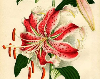 05 Vintage Botanical Lily Illustration, Printable Antique Image