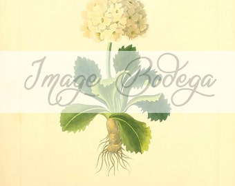 Vintage Floral Digital Image. Floral illustration, botanical Image to use for any purpose, digitally use and printable
