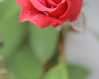 Digital Photo Download, Flower, Rose, Photograph Printable File