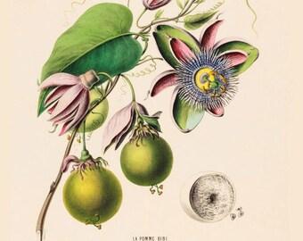 antique french botanical print pomme bibi passiflora passion flower and passion fruit illustration digital download