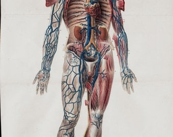 1844  LARGE Antique ANATOMY chart by Lemercier, lithograph of a Human Body circulatory and muscular system, Free Shipping