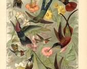 1894 Hummingbirds White-tipped Sicklebill, Crimson Topaz, Frilled Coquette, Bearded Helmetcrest, Sword-billed Hummingbird Antique Lithograph