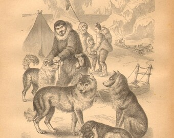 1876 Sled Dogs, Huskies Original Antique Engraving to Frame
