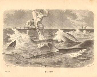 1879 Blue Shark - Prionace glauca Original Antique Engraving to Frame