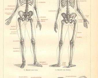 1906 Human Skeleton Original Antique Engraving