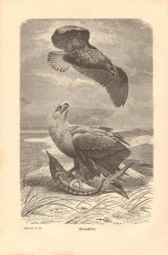 1878 White-tailed Eagle, Sea Eagle or Erne - Haliaeetus albicilla Original Antique Engraving to Frame
