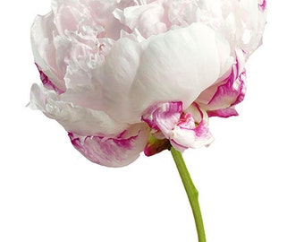 Pink and White Peony Photo Notecard