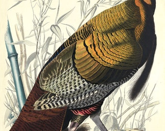 John James Audubon Print Reproduction: Birds of America - Wild Turkey, c. 1836. Fine Art Print.
