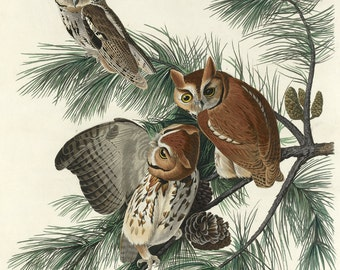 John James Audubon Reproductions - Mottled Owl, 1830. Fine Art Print.