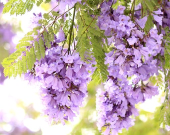 Jacarandas Photo Print - Flower Photography - Close Up - Purple Flowering Trees - Size 8x10, 5x7, or 4x6