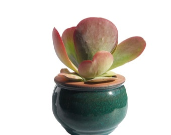 "Succulent Kalanchoe Flap Jack Plant in a Round Ceramic Planter 8"" Tall Office Party Favor Gift"