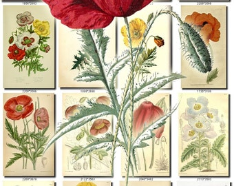 POPPIES-1 Collection of 100 vintage images botanical pictures High resolution digital download printable 300 dpi poppy papaver flowering