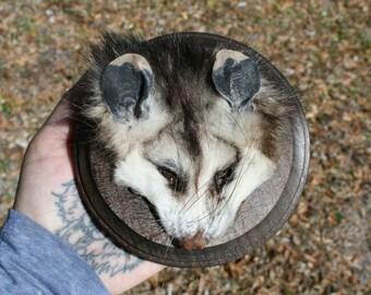 Preserved Juvenile Opossum Face Plaque 001