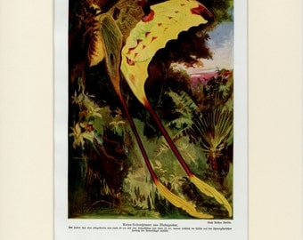 """Rare Madagascar Butterfly Print C. 1900 Matted - Tropical, Insects, Entomology, Natural History, Gift - 11x14"""""""