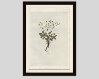 Antique Botanical Print, Cottage Decor, Vintage Wildflower, Victorian Lithograph, Original Print, Three Toothed Cinquefoil, Plate XXXVI