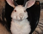 Odd Eyed White Jackalope Shoulder Mount Taxidermy with Pronghorn Horns- Odd Curio Oddity