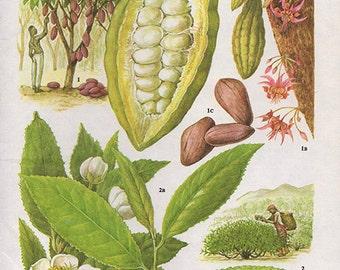 Vintage Botanical Print Antique COCOA BEANS leaf, plant print botanical print, bookplate art print, shrub fruit plants plant wall