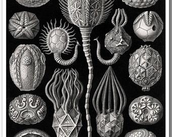 Sea Urchin Print, Echinoderm, Ernst Haeckel Illustration, Haeckel Print, Poster, Educational Art, Coastal Art, Black & White Wall Art