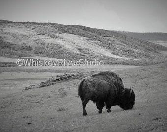 American Bison Grazing Yellowstone print. Canvas photo print. Canvas Photography. Wall Art. 8x10, 11x14, 16x20, 20x24.