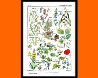 Vintage Botanical Print Calming Plants Larousse 1912 -  Botanical Kitchen Decor Botanical Decor Garden Art   bpt