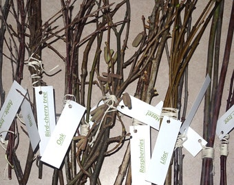 11 x 3 different tree branches. Oak branches. willow branches. birch branches. Tree twigs.  Educational branches bundles with tree names tag