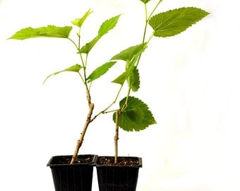 Dwarf Mulberry Tree - 2 Pack