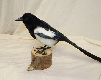 taxidermy SALE -magpie, vibrant colour, a member of the crow family, pica pica (2)