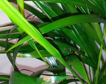 Areca Palm plant Dypsis lutescens Easy to grow!!