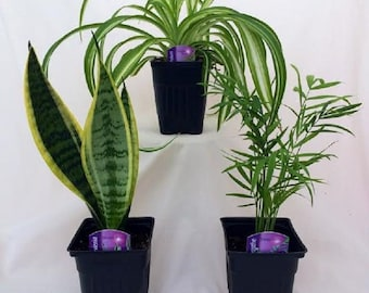 House Plant Collection - Parlor Palm, Spider Plant, Snake Plant (FREE SHIPPING)