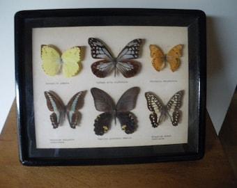 papillon naturalisé / Taxidermie/ années 70 / Cadre / vitrine