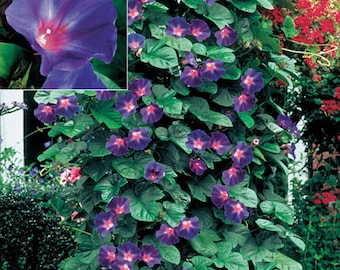 Morning Glory Seeds ~ Star of Yelta ~ Gorgeous Annual Climbing Vine ~ 25 Seeds