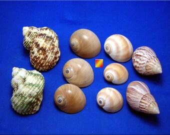 Set of 10 Shell Hermit Crab Changing Set Medium Size Seashells