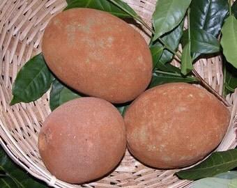 2x 100% Organic Exotic Cupuacu Theobroma Grandiflorum Fruit Tree