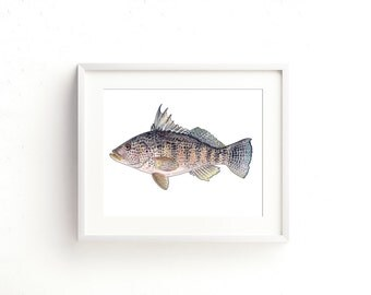 Black Sea Bass Watercolor Fine Art Print