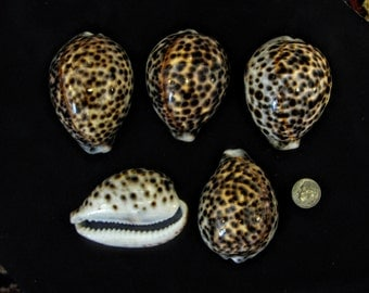 "2"" - 2  1/2"" Tiger Cowrie  (1)   Large Seashell -Ocean - Beach Decore - Seashell art"