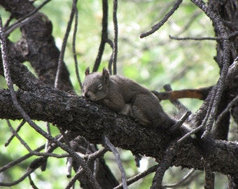 Slumbering Squirrel
