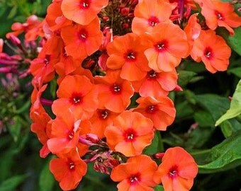 2 Orange Perfection - Garden Phlox Root/Plant