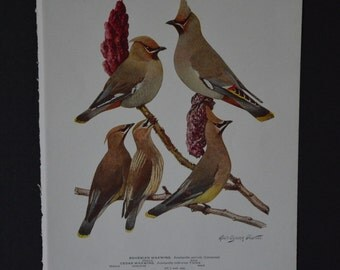 1936 Birds of America Vintage Bird Print Original Book Page - Waxwings and Shrikes